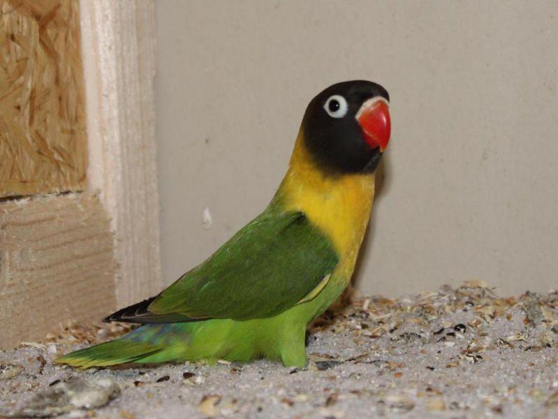 Schwarzköpfchen Vogelzucht Und Vogelschutzverein 1980 Delbrück Ev